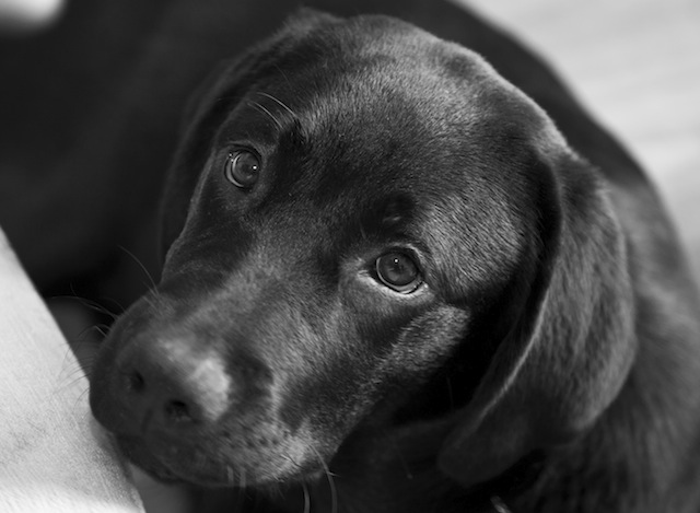 Ruby the black labrador | Journal of a dog's life and ...