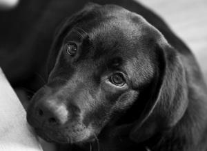 Ruby the black labrador